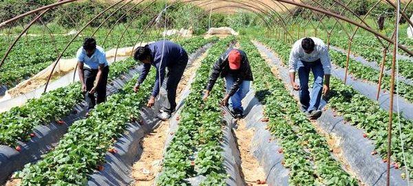 Работа на сборе урожая в Греции